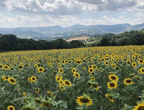 zonnebloemen-le-marche-veld-1050x1400