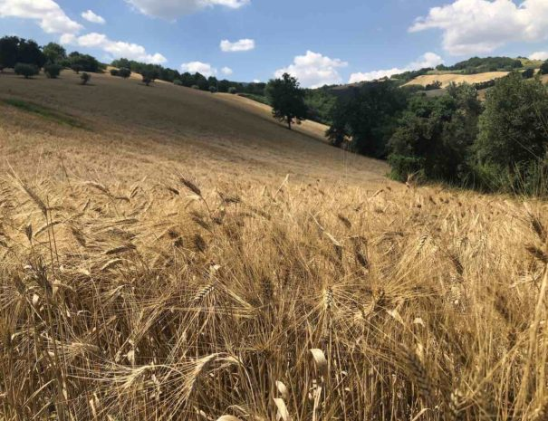 le-marche-countryside-field-grain-1400x1050